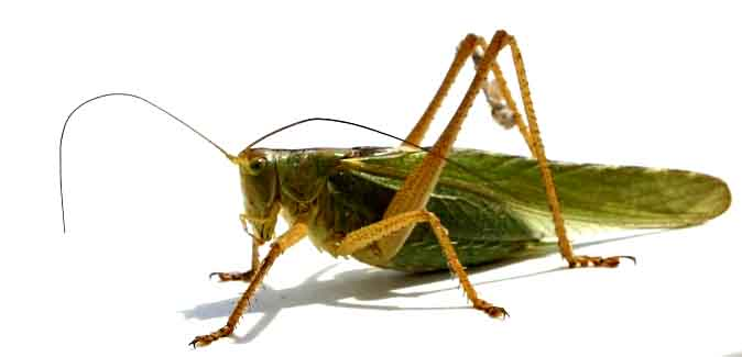 Side View of a Cricket Insect